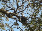 Eagle in my tree
