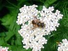 Bee in my Yarrow