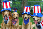 Golden retrievers patriotic