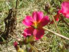 A tiny bee is in the bloom, not sure what kind, they look like babies, several in my yard today, 7/30/14