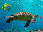 sea-turtle-animal-wallpapers-1152x864.jpg