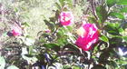Camellias from December11th, 2013
