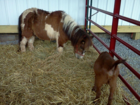 pony and goat at petting zoo 09 24 2011.png