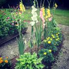 My gladiolas are in full bloom