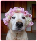 dog w. hair rollers