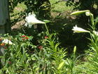 One of my patches of Easter lilies....
