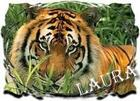 MY Laura TIGER signature!!!