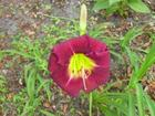 Deep Red Day Lily