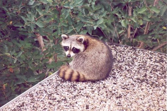 Our racoon