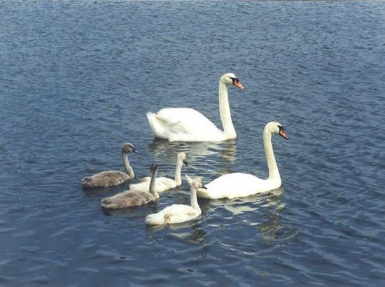 Our Swan Family