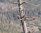 Bald Eagle in my tree