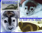 Ice Seals of the Arctic