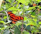 """Another """"Tiger Butterfly"""""""