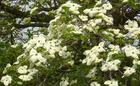 A Closer Look at the White Dogwood Flowers