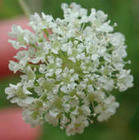 wfshl-waterhemlock-06_small.jpg