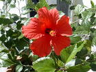 Red Hibiscus 2005