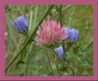 Clover and cornflowers