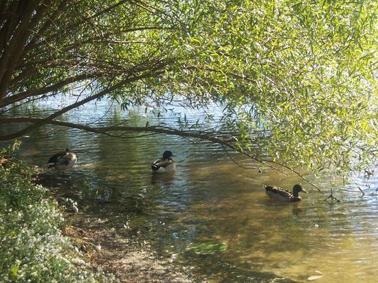 Ducks Under Willow