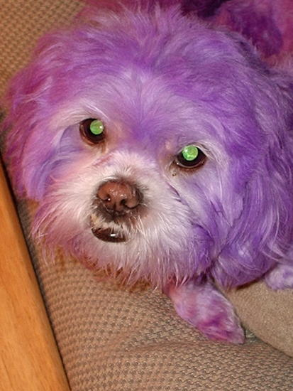 Maybe we can call me Marple _maltese _amp_ purple_.jpg