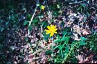 Coreopsis by the trail