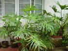 lacy tree philodendron.JPG