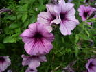 Mother's Day petunias