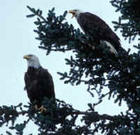 eagle-bald-001a_small.jpg