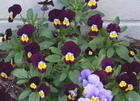 deep purple and yellow violas