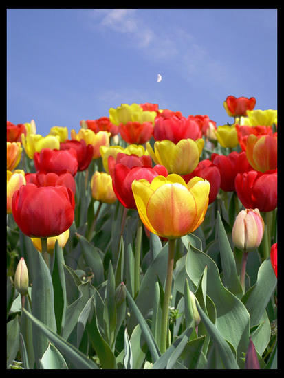 TULIPS for sweet Leila with luv n hugs again from Juliet xox