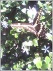 swallowtail on natal plum at entry.jpg