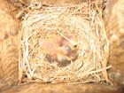 Baby Eastern Bluebirds back in the nest