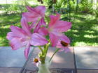 Pretty Crinum Lilies Blooming for my Birthday