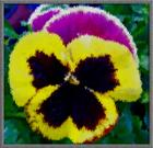 100_3409 painted pansy _Small_.jpg