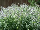 Peppermint blooms 2