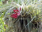 airplant in bloom -everglades