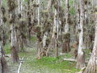 Cypress /airplant grove inthe everglade