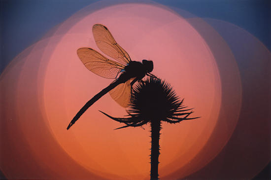 Dragonfly Sunset