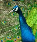 peacocks-birds-01.jpg