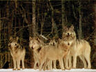 The Pack...