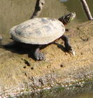 Turtle on Olentangy River