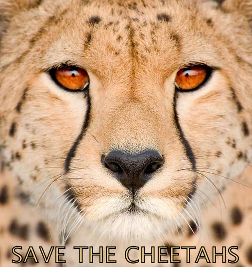 cheetah face_Save the Cheetahs.bmp
