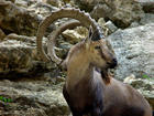 Not a Goat an Ibex Silly greeks !!!!