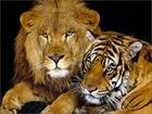 Ligor are a product of lion fathers and tiger mothers