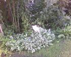 Cat Statue with Lambs Ear