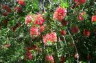 Callistemon (Hybrid Red Bottlebrush)