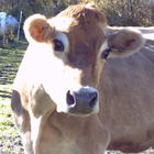 Mary is now 19-year old cow.