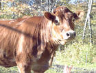 Vasya  is now 9-year old cow.  She is a great thinker...