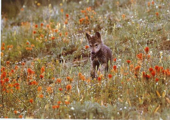 Wolves 6 Gray Wolf Pup in Montana.jpg