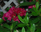 Littlebug's Red Rhodendron
