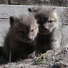 Two Baby Foxes 2
